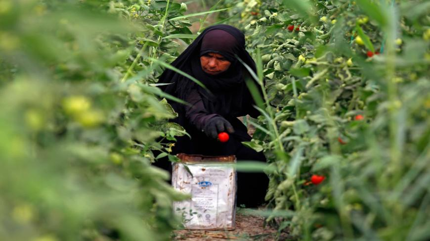An Iraqi woman farmer harvests tomatoes in Diwaniyah, around 160 kilometres (100 miles) south of the capital Baghdad, on April 2, 2018. - Iraqi farmers have traditionally lived off their land with no need for wells, but a creeping drought is now threatening agriculture and the livelihoods of nearly a quarter of the country's population in the southern agricultural provinces of Diwaniyah, Muthanna and Missan. (Photo by Haidar HAMDANI / AFP)        (Photo credit should read HAIDAR HAMDANI/AFP via Getty Images
