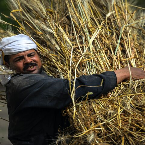 An Egyptian farmer harvests wheat in Saqiyat al-Manqadi village in the northern Nile Delta province of Menoufia in Egypt, on May 1, 2019.